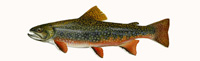 Brook Trout Thumbnail Image - Click for larger image
