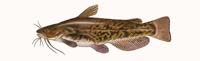 Brown Bullhead Thumbnail Image - Click for larger image