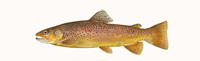 Brown Trout Thumbnail Image - Click for larger image