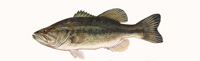 Largemouth Bass Thumbnail Image - Click for larger image