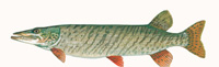 Muskellunge Thumbnail Image - Click for larger image