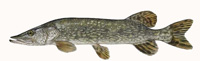 Northern Pike Thumbnail Image - Click for larger image