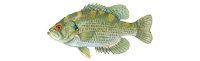 Rock Bass Thumbnail Image - Click for larger image