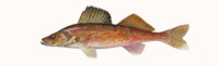 Walleye Thumbnail Image - Click for larger image