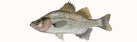 White Perch Thumbnail Image - Click for larger image