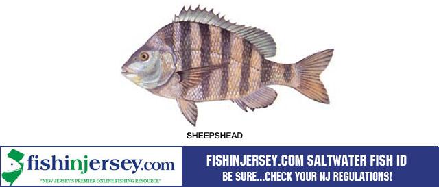 NJ Saltwater Fish ID - Fishinjersey.comSaltwater Sheepshead Fish
