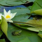 Frogs on Lily Pads Feature Image